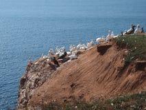 Basstoelpel colonie Royaltyfri Fotografi
