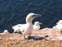 Basstoelpel colonie Stock Foto