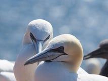 Basstoelpel colonie Fotografering för Bildbyråer