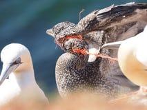 Basstoelpel colonie strangeled med plast- Fotografering för Bildbyråer