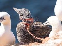 Basstoelpel-colonie strangeled mit Plastik Stockfoto