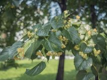 Basswood flowers on tree with foliage. Linden blooming flowers on lime-tree. Blossoming teil with detail on flowers. Flowering lime. Whitewood tree with florid stock photos