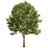 Basswood Tree Isolated. On white Royalty Free Stock Photography
