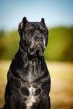 Bastão Corso do cão Foto de Stock