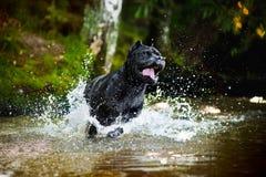 Bastão Corso do cão funcionado na água Fotografia de Stock