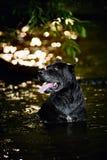 Bastão Corso do cão na água Foto de Stock