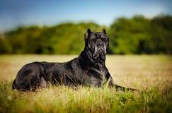 Bastão Corso do cão que encontra-se no campo Imagem de Stock Royalty Free