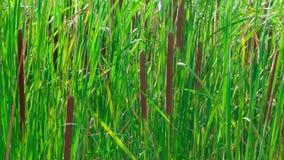 Bastão da grama selvagem no lago filme