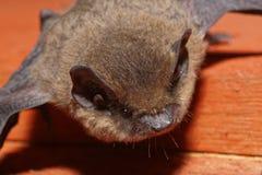 Bastão do Pipistrelle Fotografia de Stock