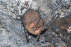 Bastão orelhudo grande de Townsends na caverna fotos de stock