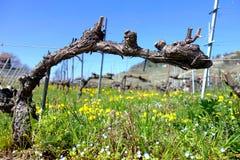 Bastão podado da uva para vinho imagem de stock royalty free