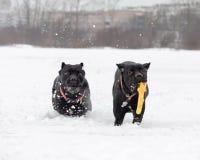 Bastón Corso Juego de los perros con uno a fotos de archivo libres de regalías