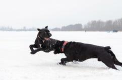Bastón Corso Juego de los perros con uno a fotografía de archivo libre de regalías