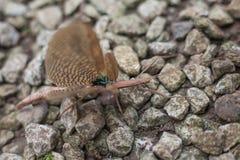 Bastón o insecto de palillo (Phasmatodea) Imágenes de archivo libres de regalías