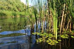 Bastón verde en orilla del río foto de archivo