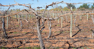 Bastões da vinha na treliça Fotografia de Stock Royalty Free