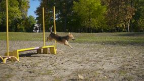 Bastaarde hond die bij hindernis springen stock video