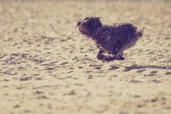 Bastaarde hond die en op strand spelen lopen Stock Fotografie