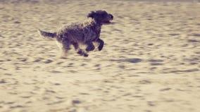 Bastaarde hond die en op strand spelen lopen Royalty-vrije Stock Foto