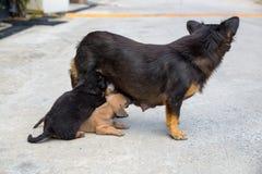 Bastaarde hond die zijn puppy voeden stock afbeelding