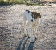 bastaarde hond met een droevige blik Royalty-vrije Stock Afbeeldingen