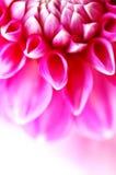 Bastante color de rosa foto de archivo