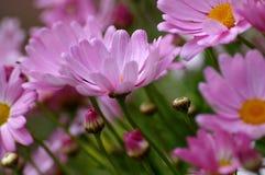 Bastante color de rosa Imágenes de archivo libres de regalías