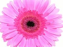 Bastante en color de rosa Fotos de archivo libres de regalías