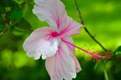 Bastante en color de rosa Imágenes de archivo libres de regalías