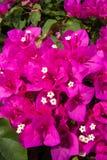 Bastante en color de rosa Imagen de archivo
