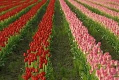 Bastante en color de rosa y rojo Imagenes de archivo