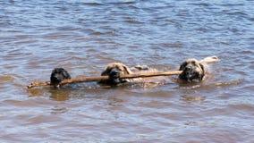 bastante grande para tres perros Foto de archivo libre de regalías