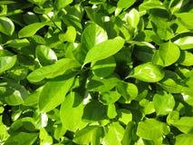 Bastante hojas del verde de la primavera en abril Foto de archivo libre de regalías