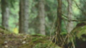 Bastante rubio en un sombrero amarillo con una mochila mira alrededor en un retrato conífero del bosque de un viajero de la mucha metrajes