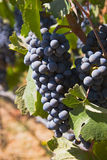 Bastantes uvas rojas para hacer una botella del vino fotografía de archivo libre de regalías