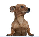 Bastard dog in front of white background Royalty Free Stock Images