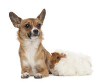 Bastard dog and guinea pig Stock Photography