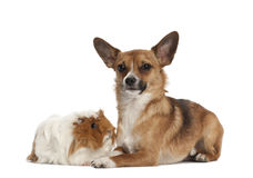 Bastard dog and guinea pig portrait Stock Image