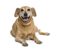 Bastard dog sitting in front of white background Stock Photo