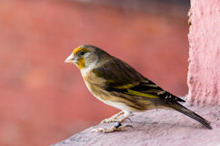 Bastard - the hybrid of goldfinch and canary. Bastard is the hybrid of goldfinch and canary. The bird is sitting on a window sill.  There is a ring visible on Stock Photography