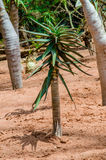 Bastard Quiver Tree - Aloe Pillansii Royalty Free Stock Image