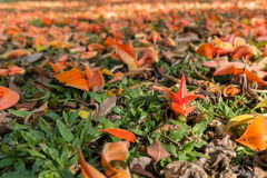 Bastard Teak flowers on ground. And blurred flowers at background Royalty Free Stock Photography