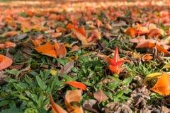 Bastardteakholzblumen auf dem Boden Lizenzfreie Stockfotografie
