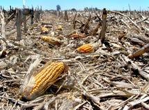 Basura del maíz Imagen de archivo libre de regalías