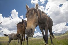 Basuto ponies in the Lesotho highlands. Stock Photos