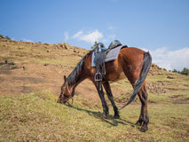 Basutoponny eller häst som fridfullt betar i bergen av Lesotho, Afrika Royaltyfri Fotografi