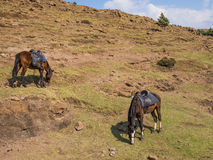 Basutoponny eller hästar som fridfullt betar i bergen av Lesotho, Afrika Arkivfoton