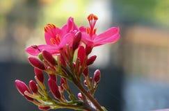A Batávia floresce Fotos de Stock