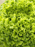 A Batávia orgânica Foto de Stock