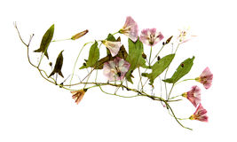 Batów bindweed zakrywający kwiaty Zdjęcia Stock